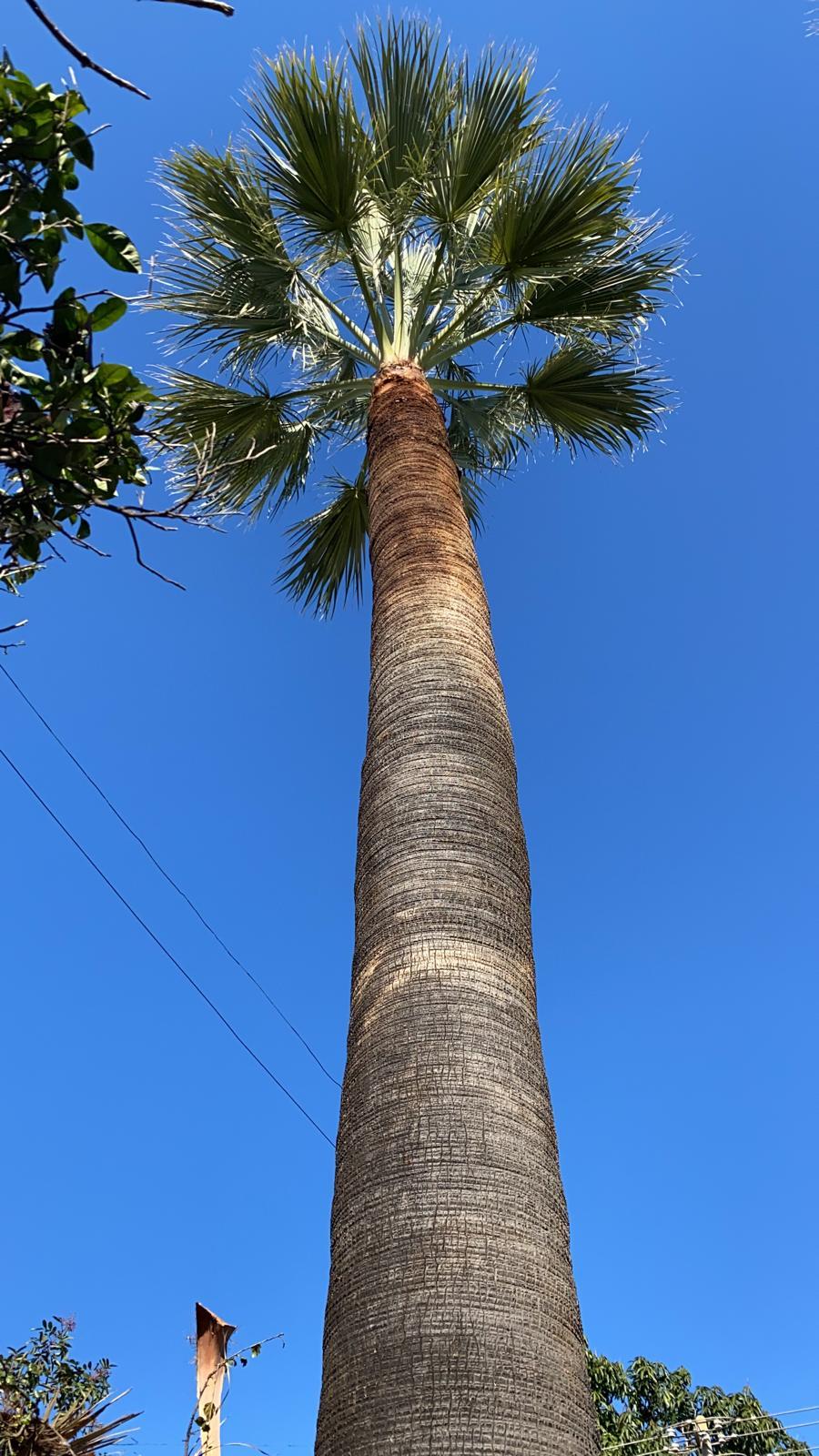 אלעד גיזום עצי דקל